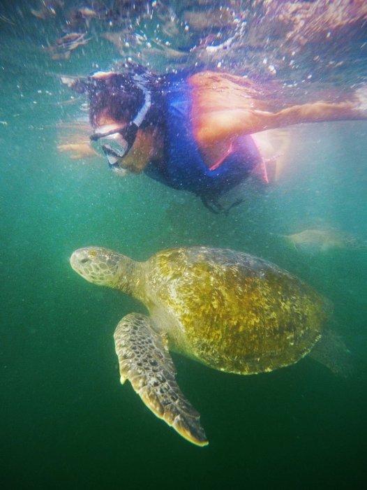 Nadar con Tortugas. Un viaje corto desde Máncora permite llegar a El Ñuro, un sitio idóneo para quienes quieran vivir una experiencia única al nadar con tortugas marinas verdes y carey, las cuales abundan por ser una zona de alimentación de estas especies. Foto: Yuri Hooker