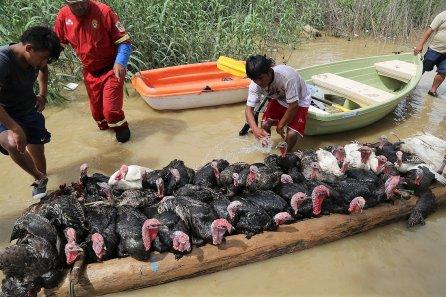 En esta pequeña balsa artesanal, los pavos también se salvaron de la inundación.