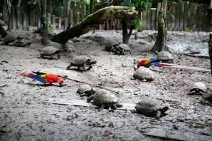 Si bien la especialidad del CREA son los mamíferos, también existen aves y quelonios. En este caso, dos guacamayos comparten espacio con las tortugas motelo. Estas aves fueron rescatadas de comerciantes que iban a venderlos como mascotas. Los guacamayos tenían las plumas cortadas para que no puedan volar. Sin embargo, apenas sus plumas vuelvan a crecer, ellas mismas se liberarán.