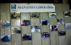 Hasta el momento el CREA a liberado a 23 manatíes. Además han logrado que diversos compromisos, como el de la comunidad El Chino, donde se han liberado algunos ejemplares. Esta comunidad se ubica en la zona de amortiguamiento del Área de Conservación Regional (ACR) Tamshiyacu Tahuayo, a la margen del río Tahuayo, en el distrito Fernando Lores, provincia de Maynas (Loreto).