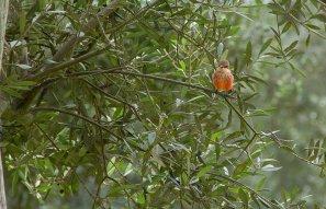 Turtupilín. Esta vistosa ave de aprox 16 cm, tiene un plumaje multicolor con tonos negros, pardos, rojos y blancos, sin embargo existen variedades de color totalmente negro en ambos sexos. Es muy común observarlos en lomas, montes, parques, campiñas, algarrobales, etc, donde emiten su canto al amanecer o en el crepúsculo. El Turtupilín habita desde el sur de Norteamérica hasta Sudamérica. (Foto: Macarena Tabja)