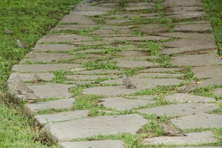 """Tortolita peruana (Columbina cruziana). Es una de las aves que hace mucha gracia en el entorno de El Olivar, ya que su canto parece el croar de una rana. De hecho, su nombre en inglés, Croaking Ground-dove, significa """"paloma de tierra que croa"""". (Foto: Macarena Tabja)"""