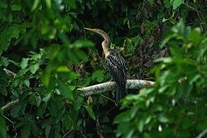 Por estas cifras, el PNM y la Reserva de Biosfera Manu han sido declarados por BirdLife como un área importante de aves (Important Bird Area) a nivel mundial. Foto: Christian Quispe / Sernanp
