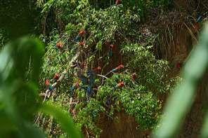 En el PNM vive el 55% de las 1800 especies de aves peruanas y el 10% de las aves del mundo. Las aves son el grupo mejor estudiado del parque. Foto: Christian Quispe / Sernanp