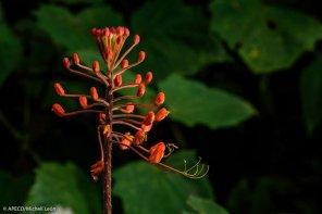 Destacan especies como Cinchona o árbol de la quina, el cedro de montaña, 47 especies de orquídeas y numerosas plantas medicinales usadas por la población local. (Michell León / APECO)