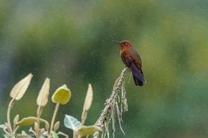 Entre las aves se encuentra la lechucita bigotona -restringida a Amazonas y San Martín-, considerada en peligro de extinción junto con el espinero castaño. (Michell León / APECO)