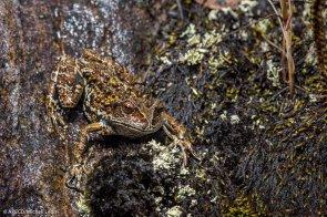 De las 13 especies de rana que existen, la rana marsupial aguaruna solo se conoce en Amazonas. Otras 4 especies solo se conocen en San Martín y Amazonas. (Michell León / APECO)