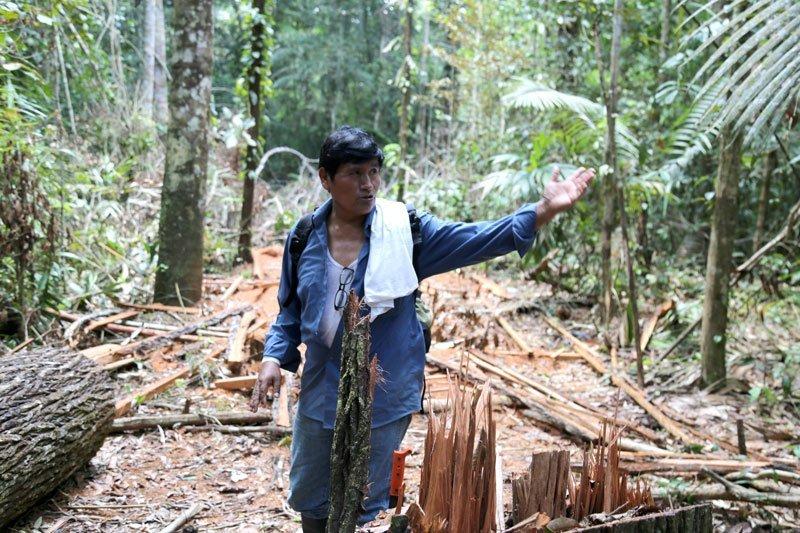 Muchas veces, Demetrio se ha encontrado con este escenario: Árboles de decenas de años talados de manera ilegal por los invasores. Foto: Jaime Tranca / SPDA
