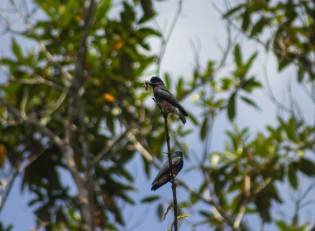 Chelidoptera tenebrosa. Foto; Alonso Armas