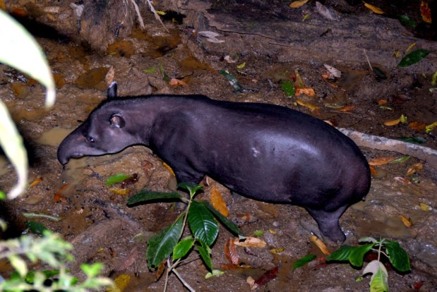 tapir---yaguas-sernanp