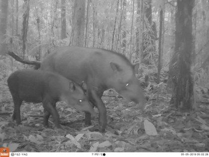tapires-yaguas---sernanp