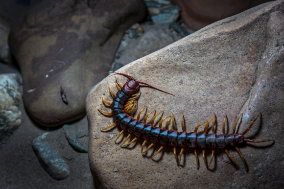Scolopendra gigantea, also known as the Peruvian giant yellow leg centipede. Foto: Diego Pérez / SPDA