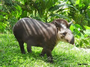 Tapirus-terrestris-jorge-galvan