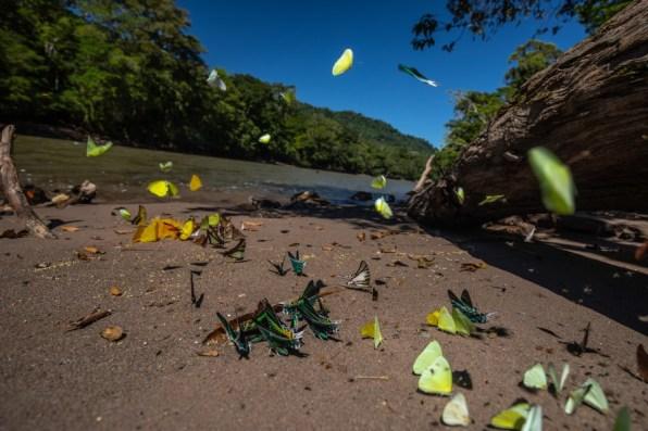 Concesión para Conservación El Breo, Alto Huayabamba - San Martín. Mariposas en el puerto del puesto de control. Esta se encuentra ubicada en la zona de amortiguamiento del Parque Nacional del Río Abiseo. Foto: Diego Pérez / GIZ
