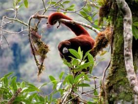 Además, de otras especies amenazadas como el mono choro de cola amarila, el oso de anteojos y la sacha vaca o tapir. Foto: Ampa