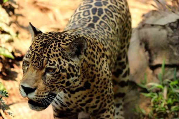 En estos bosques habitan especies en peligro de extinción como el jaguar. Foto: Ampa