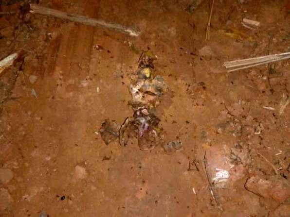 Restos de fauna silvestre aparentemente atropellada por la maquinaría de las empresas madereras. Foto: Comité de Vigilancia Comunitaria Sawawo – ProPurús