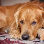 fotos-de-perros-con-ojos-de-tristeza.jpg