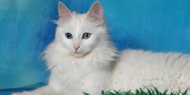 Gato de angora turco