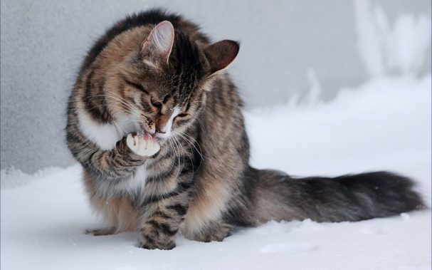 gato lamiendose