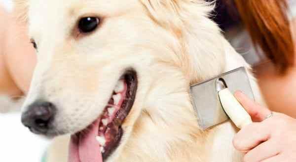 Cómo combatir la picadura de pulga en perros