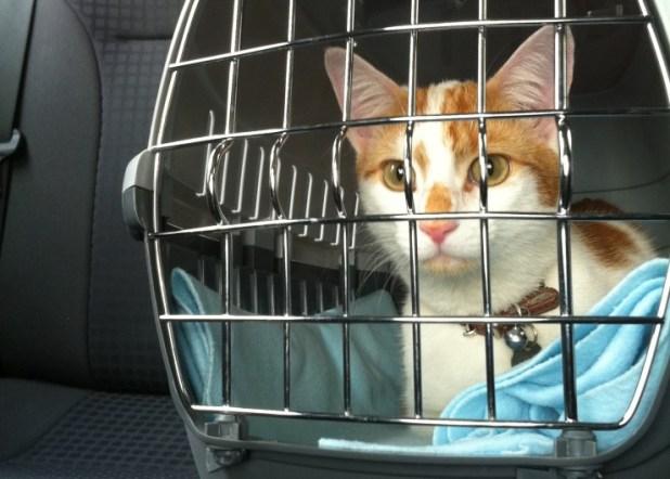 gato en transportin