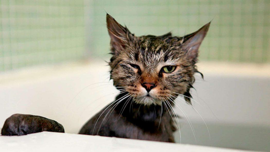 gato tomando un baño