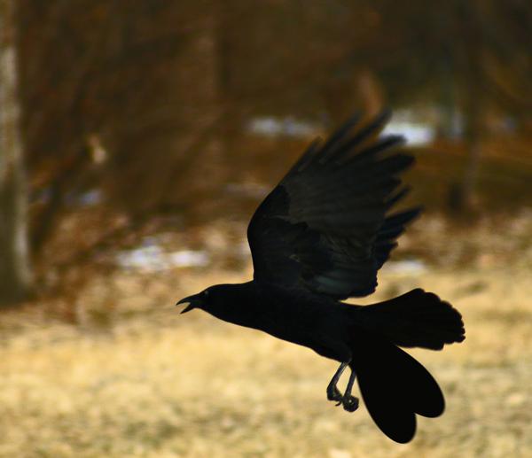 El pájaro Uyuyuy, ahora extinto, a punto de realizar un aterrizaje forzoso.