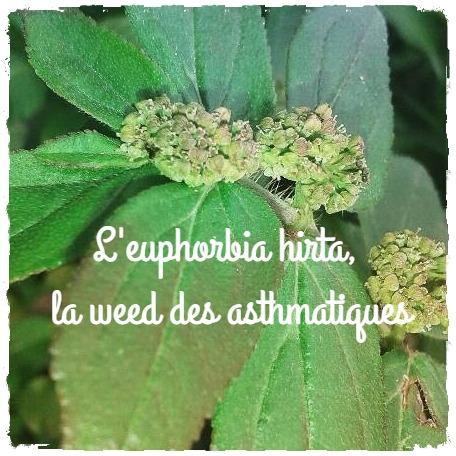 Une plante enregistrée dans la pharmacopée africaine: l'Euphorbia hirta