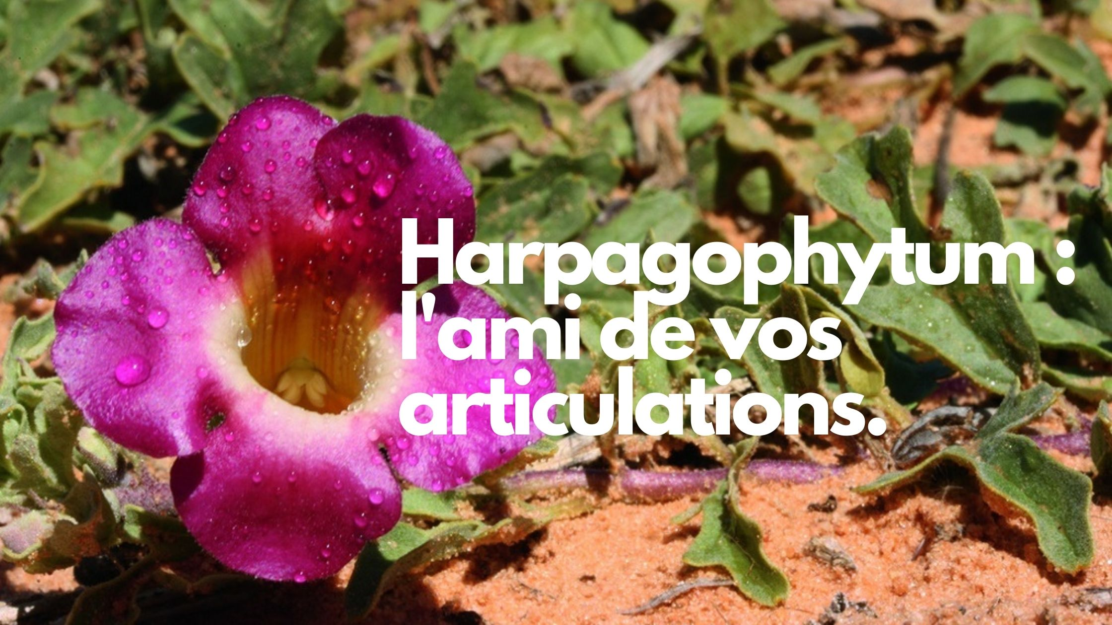 L'harpagophytum soigne les articulations douloureuses