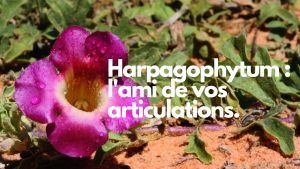 L'harpagophytum soigne les articulations douloureuses
