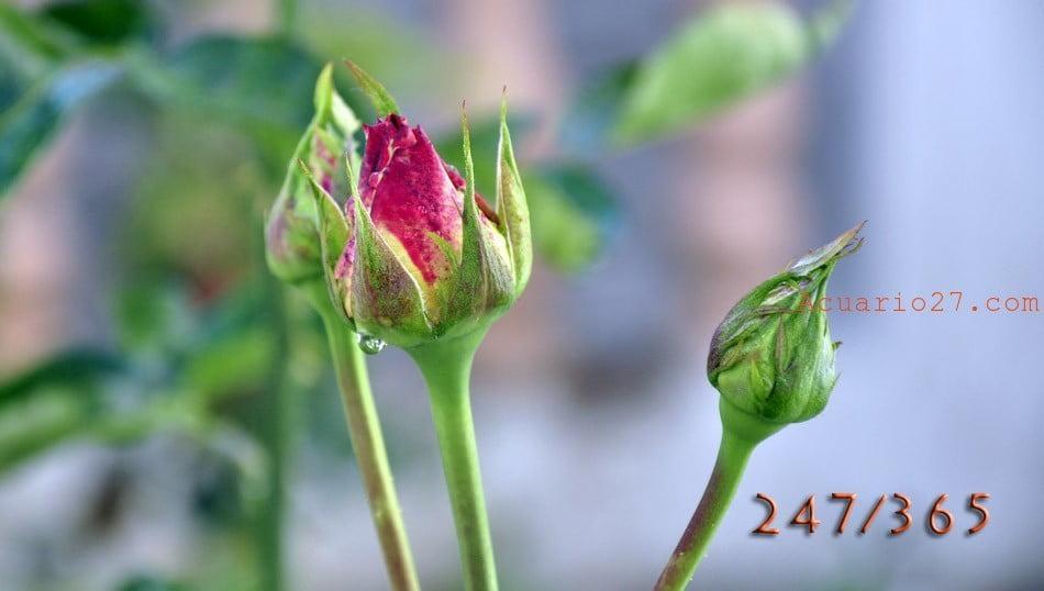 247/365 Rosas.