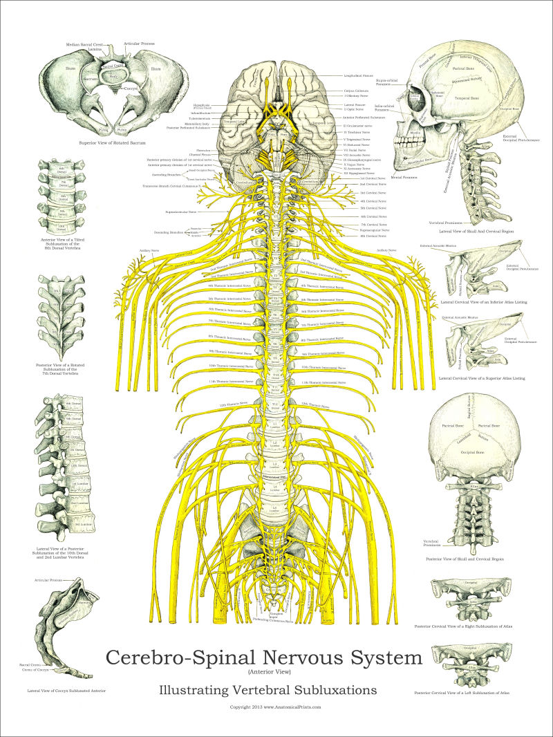medium resolution of spinal nerves and subluxations poster