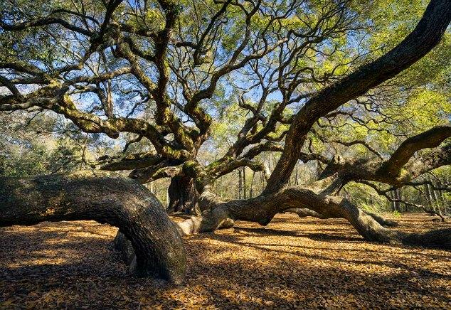 The Angel Oak in Charleston, SC {www.adailypinch.com}