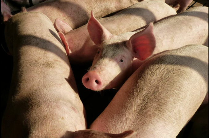 Pigs crowding to get a closer look at us.