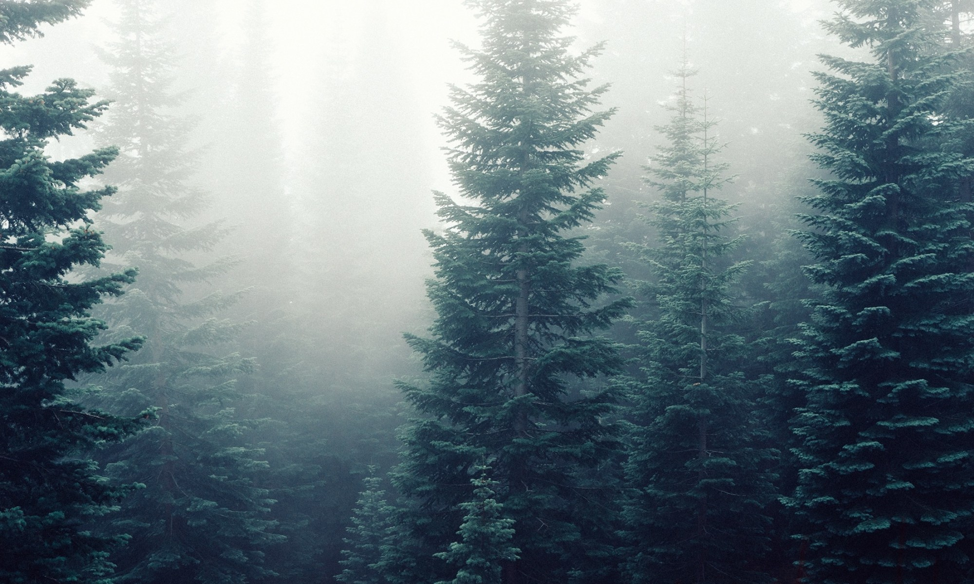 Evergreens in mist