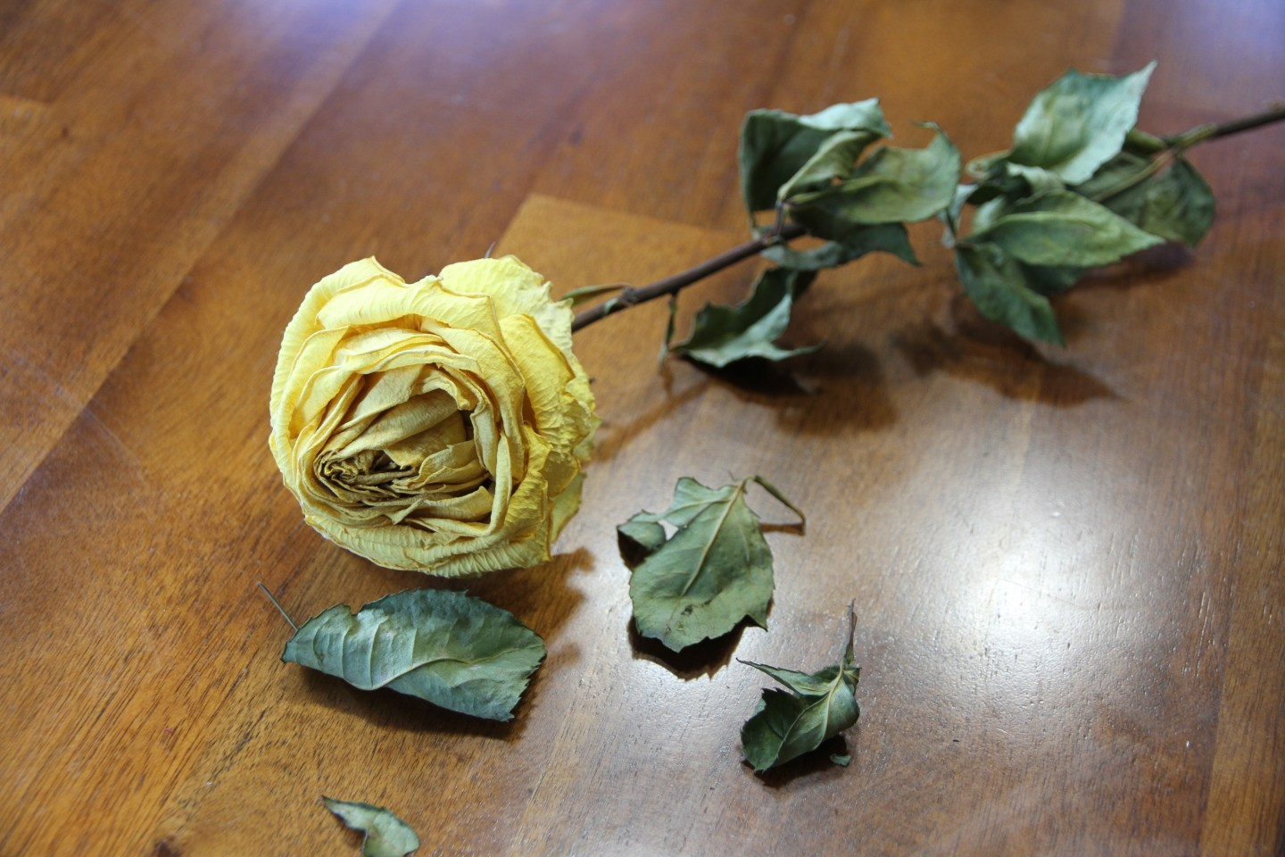 yellow rose, dried, and dried up leaves