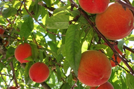 Image result for pictures of an ancient peach tree