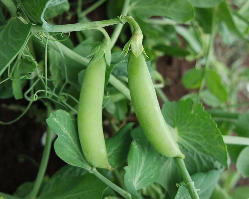 Sugar Snap Pea Sugaree Organic Adaptive Seeds