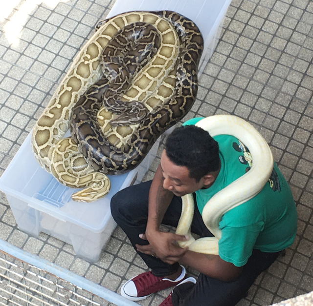 A man sitting with a white python snake wrapped around him, and two spotted pythons intertwined on a container