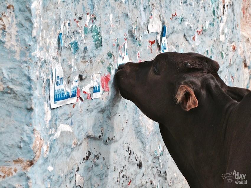 vache sacrée inde