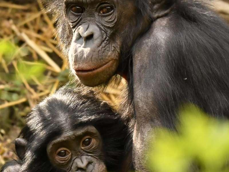 Suiza se adelanta a España y aprueba defender los derechos básicos de los grandes simios