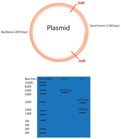 digestion diagram crop 2003 ford focus svt stereo wiring addgene: molecular biology protocol - restriction digest of plasmid dna