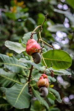 owoce nerkowca