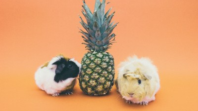 guinea pig adhd testing