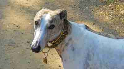 Greyhound dog is an example of how working with animals can be a natural therapy for people with ADHD