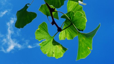 Some small studies show that Ginkgo biloba helps improve memory and, when taken with ginseng, can decrease impulsiveness and distractibility. Other studies have shown no or minimal improvement.Talk with your doctor or a nutritionist before trying them. These herbs can cause health problems, especially if you have a history of diabetes, seizures, or schizophrenia.