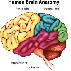 The Anatomy Of Anxiety Diagram 2010 Ford Ranger Tail Light Wiring 223 9 Parent Parenting Mindset Ss Brain Additude Drawing Human Origin At School