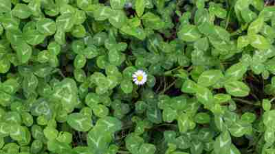 green background of clovers with a lonely daisy