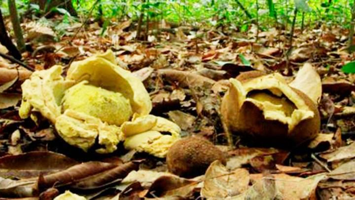 Descritas tres nuevas especies de hongos en la Amazonía brasileña - Adelantos Digital